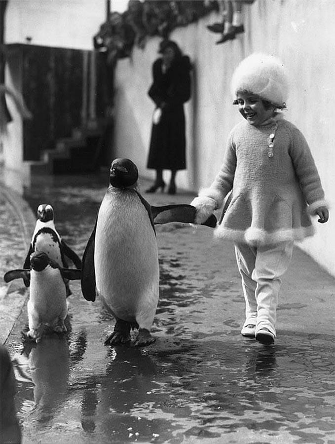 Девочка, держась за крыло, прогуливается с пингвинами в Лондонском зоопарке в 1937-ом году(пост-2)