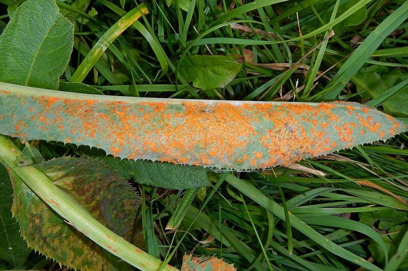 Лист осота, поражённый ржавчинным грибом - рыжие точки на зелёной поверхности листа