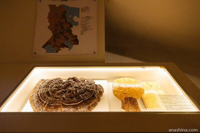 Трутовик и карельская береза, Петрозаводск, Национальный музей Республики Карелия