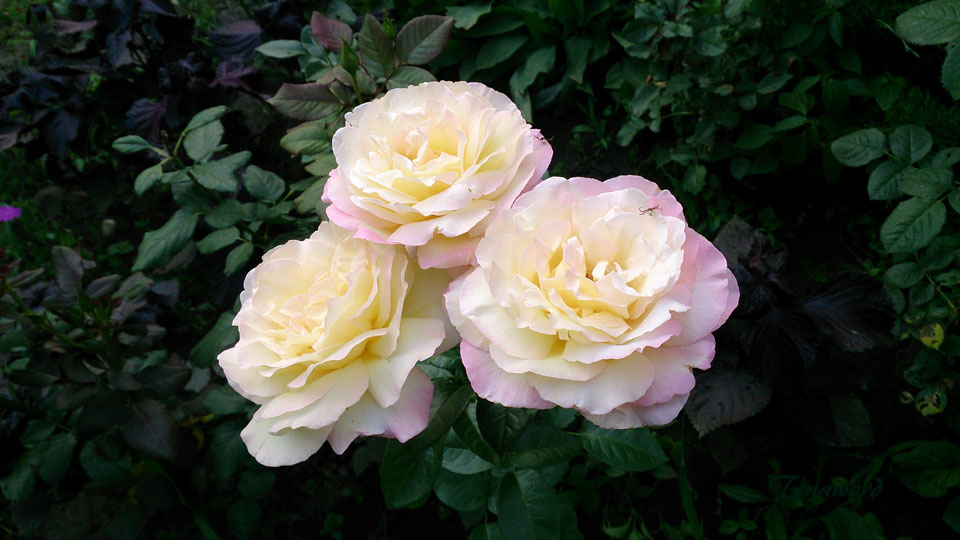 розы-5.jpg
