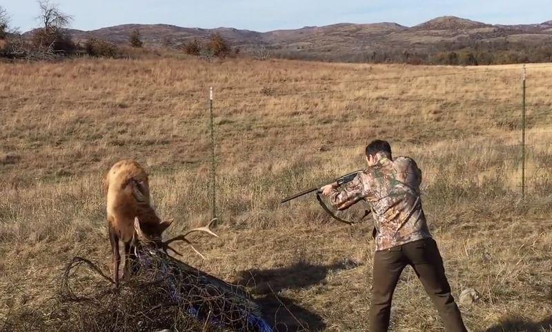 Олень запутался рогами и тут парень с ружьем...