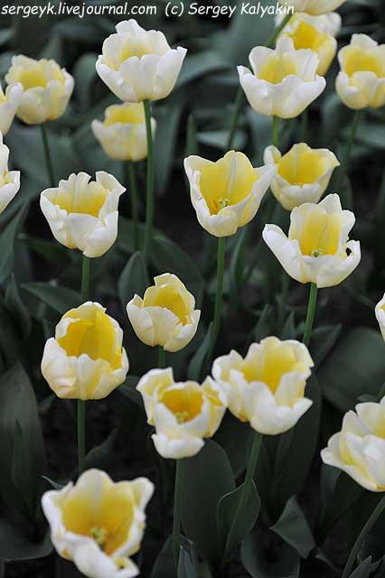 Tulipa Ivory Queen.JPG