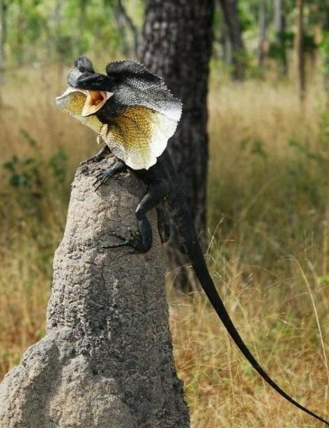 Есть и такие виды ящериц, в которых полностью отсутствуют самцы. Ящерицы Cnemidophorus neomexicanus