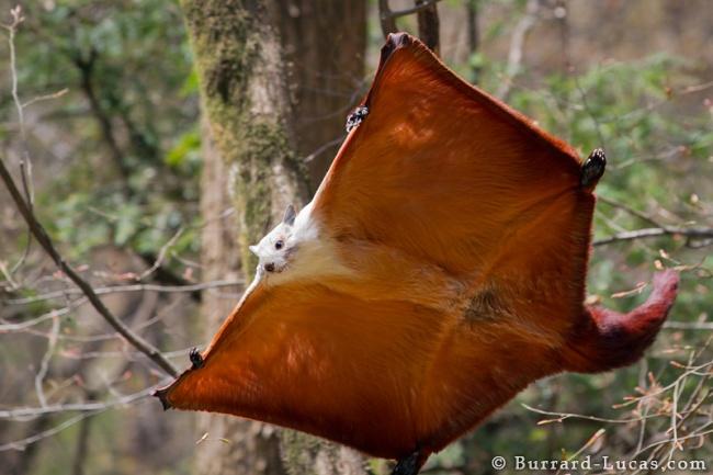© Will Burrard-Lucas  Этот летающий грызун— самая большая белка вприроде. Ее«крылья» насам