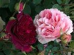 Цветение роз 2017