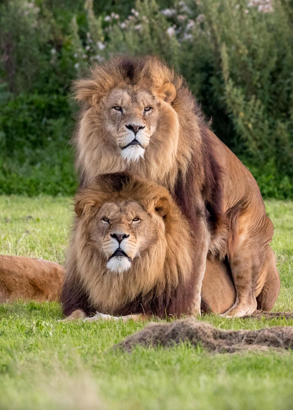 Львы-геи в британском зоопарке