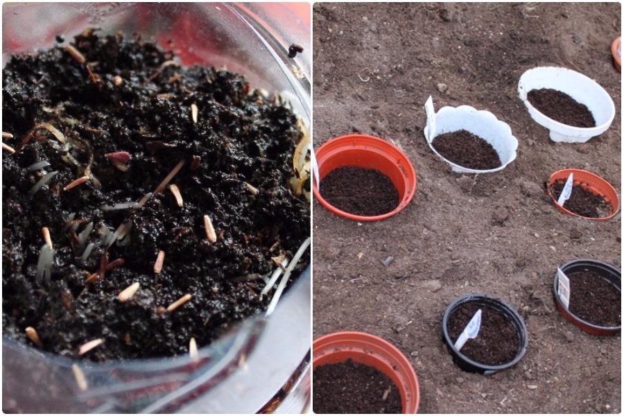 Выращивание астр в грунт 441
