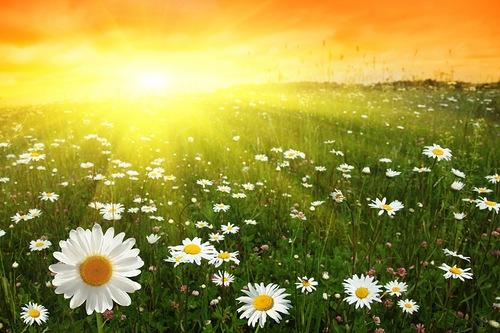 День летнего солнцестояния! Ромашковое поле!