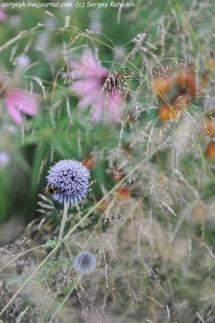Echinops Veitchs Blue Deschampsia.JPG