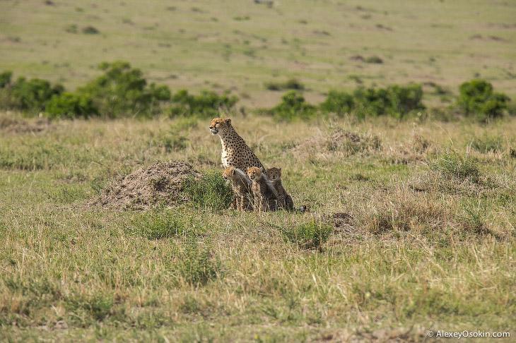 Один день из жизни гепардов (26 фото)