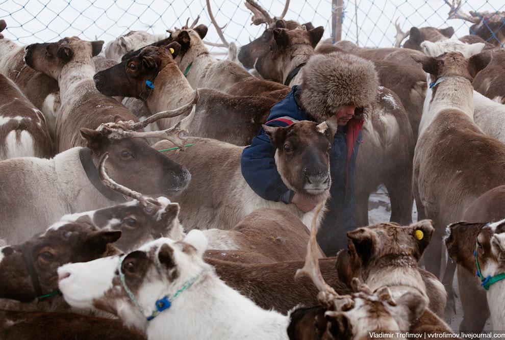 А из нарт и пойманных «быков» формируют «эшелоны», Передовые нарты тянет оленья тройка, все сле