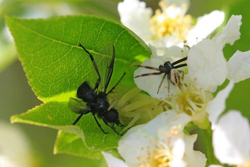 Белый цветочный паук мизумена косолапая (Misumena vatia) среди цветков черёмухи со свой добычей - комаром-долгоножкой и поджидающий рядом самец