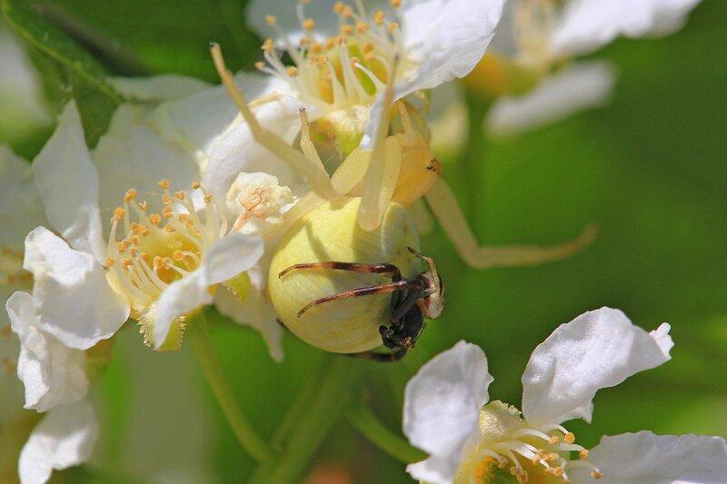 Жёлтый цветочный паук мизумена косолапая (Misumena vatia) крупная самка с более мелким самцом, сидящим у неё на брюшке