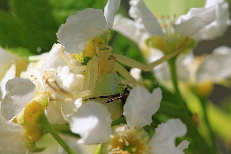 Жёлтый цветочный паук мизумена косолапая (Misumena vatia) крупная самка с более мелким самцом, сидящим у неё на брюшке среди цветков черёмухи