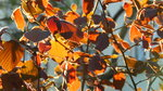 724.JPG Весенне-осенний цвет орешника.