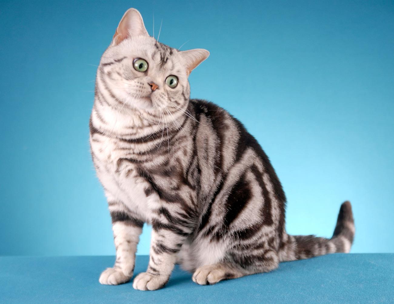 фото американский короткошёрстный кот