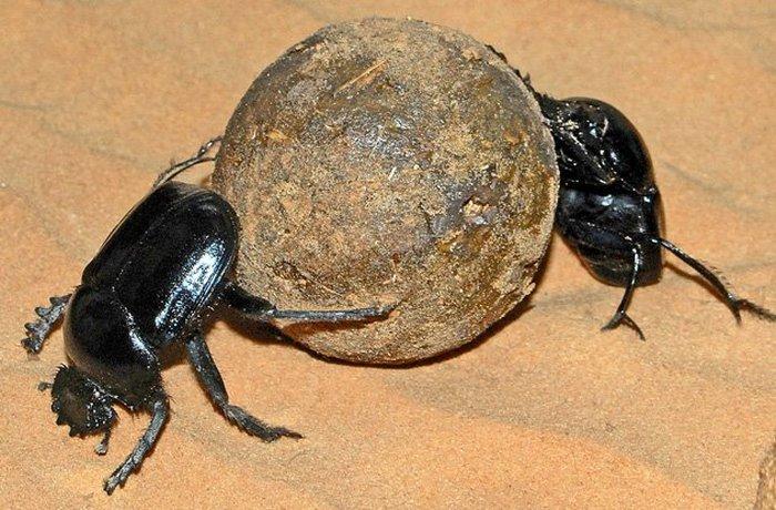 Египтяне считали, что жуки-скарабеи волшебным образом зарождались в экскрементах и обладают волшебно