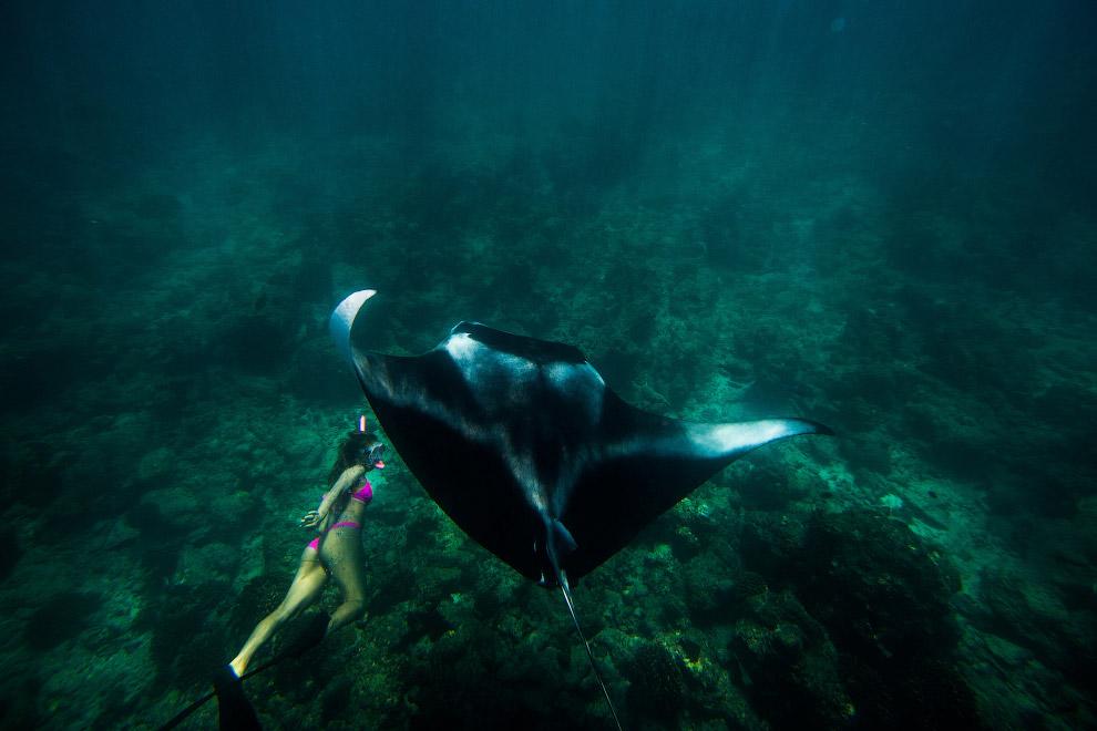 3. Манты плавают, взмахивая грудными плавниками, как крыльями. В открытом море они двигаются с