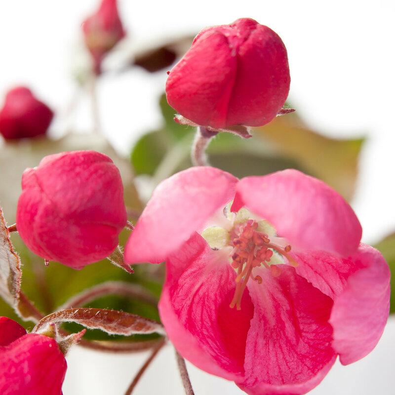 the Flowers of an apple-tree of Nedzvetsky (Malus niedzwetzkyana Dieck)