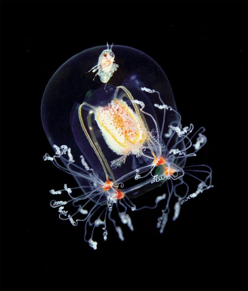 A jellyfish (Bougainvillia superciliris) with a hitchhiking amphipod (Hyperia galba). Photo by Alexa