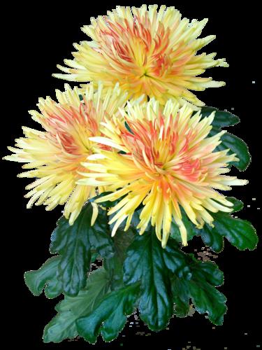 клипарты,хризантемы