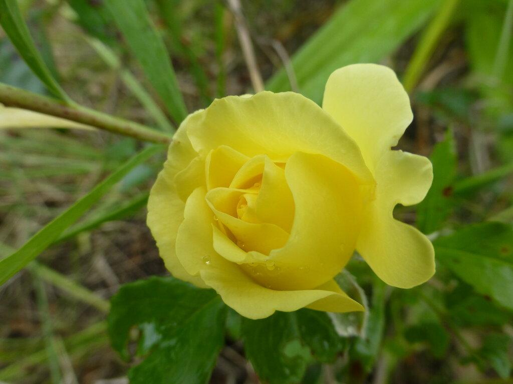 Розы с яйцами и прочие дачные радости L1280003.JPG