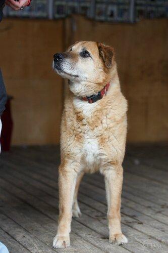 Рыжик Дюстэр собака из приюта догпорт