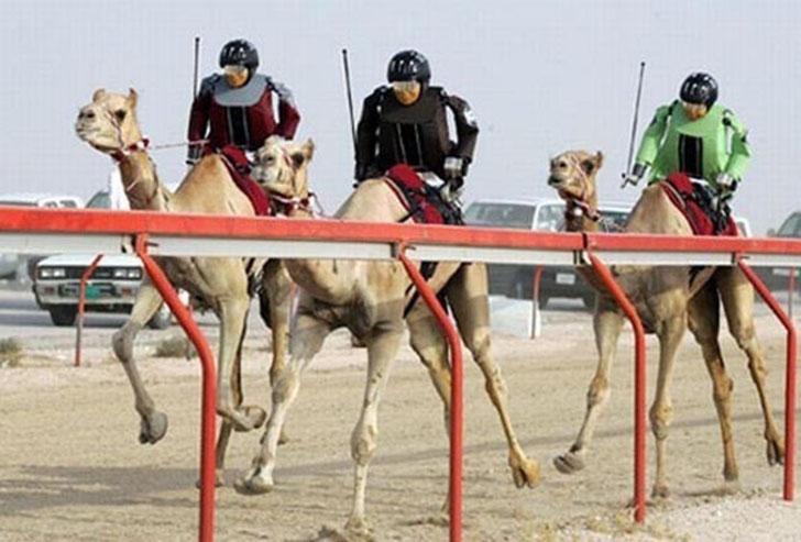 Гонки с препятствиями на верблюдах.