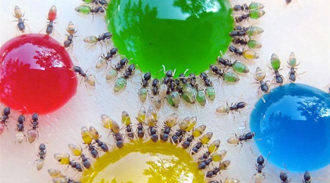 Фараонов муравей Небольшие Monomorium pharaonis встречаются по всему миру, от Европы до Австралии. В