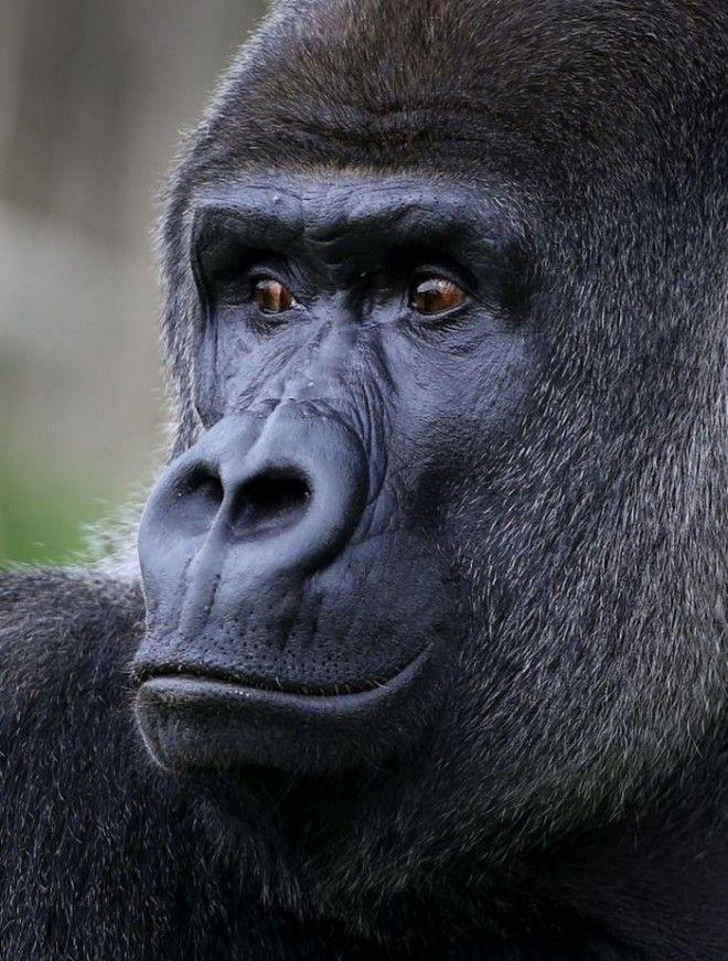Более того, другие гориллы в группе Амбама тоже следуют его примеру. Тамба, сестра гиганта, и ее 2-л