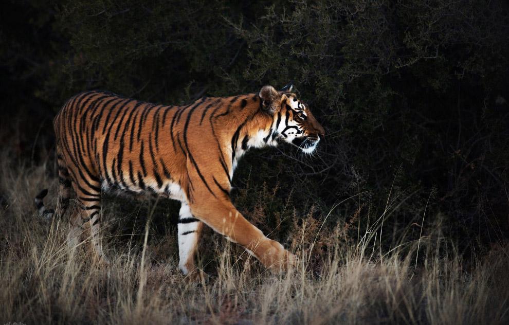4. По своим физическим параметрам китайский тигр является одним из самых маленьких подвидов — с