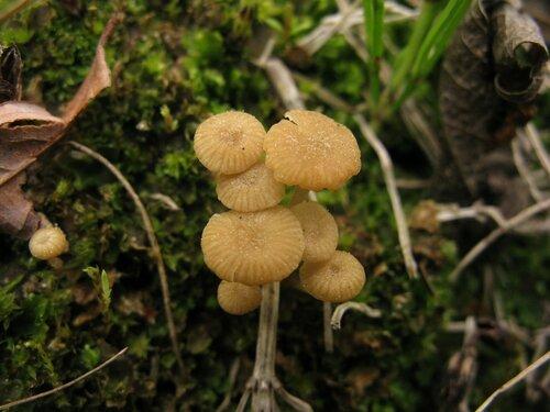 Лихеномфалия гудзонская (Lichenomphalia hudsoniana) Автор: Станислав Кривошеев