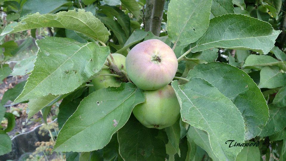 яблоки-7.jpg