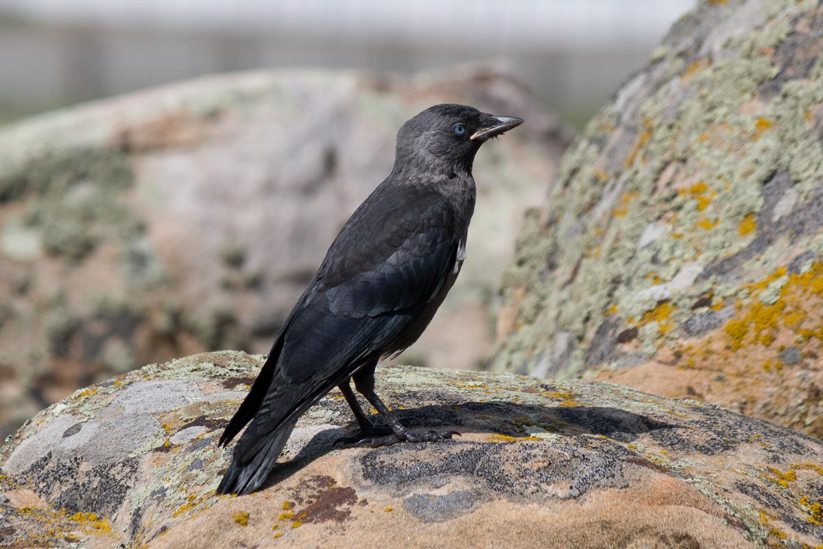 галка птица фото 1