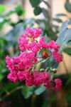 Экзоты - Lagerstroemia indica (Scarlet flower and black leaf)