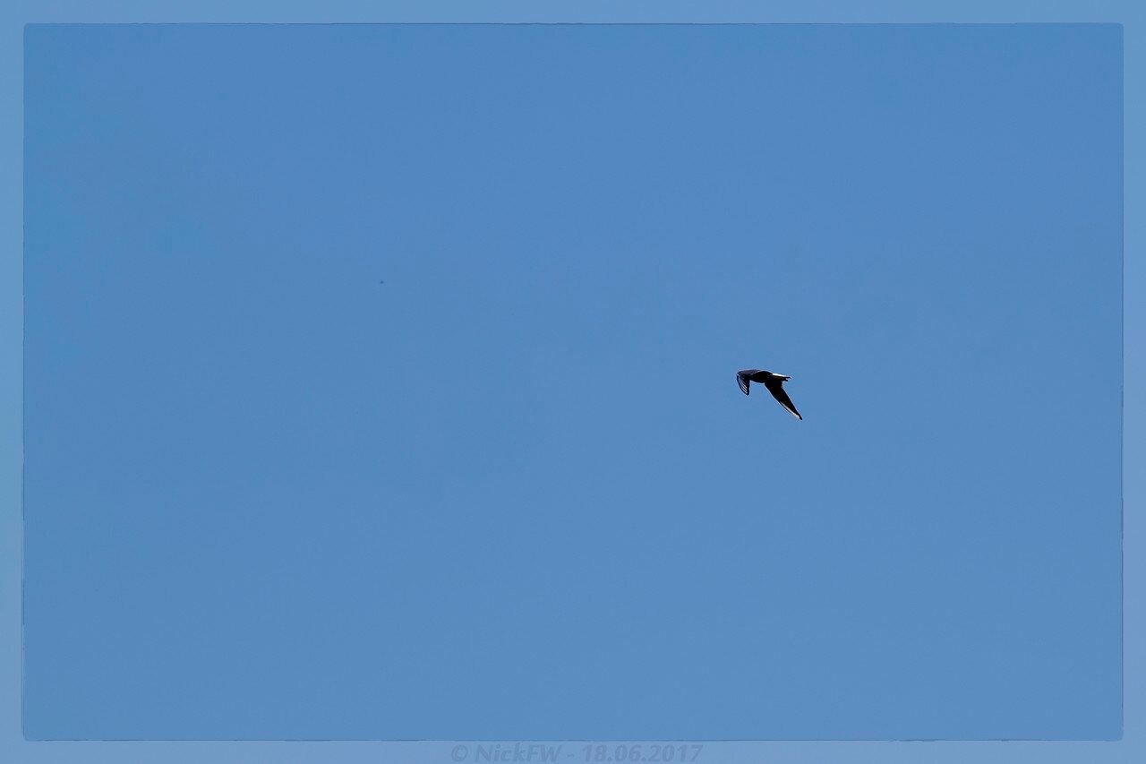 Чайка в полёте (© NickFW - 18.06.2017)