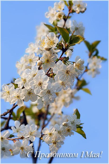 С 1 Мая! С праздником Цветущая вишня