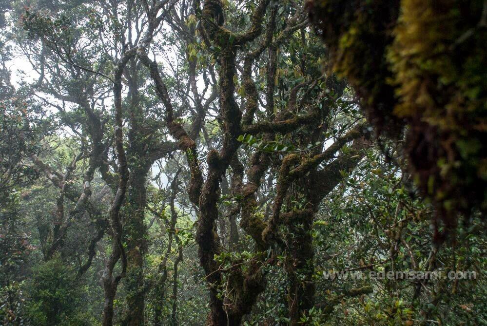 Mossy Forest Мшистый лес Малайзия нагорье Камерон
