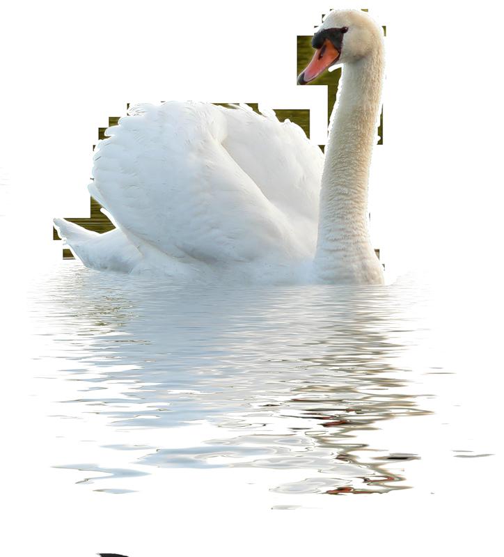 Картинки с лебедями на прозрачном фоне