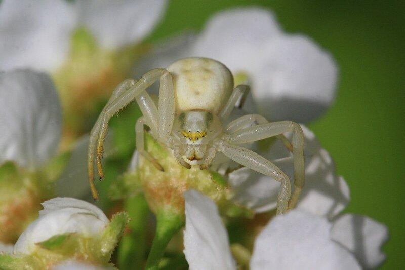 Белый цветочный паук мизумена косолапая (Misumena vatia) на цветке черёмухи поджидает добычу
