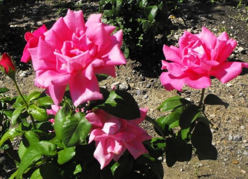 Кондо  -  Розы..