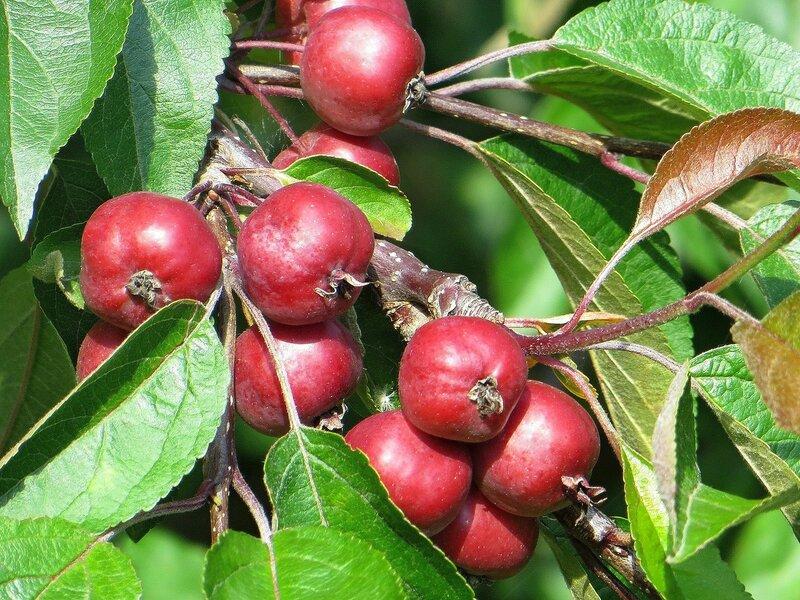 Райские яблочки в парке