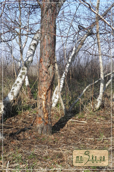 Дерева-чесала диких кабанів