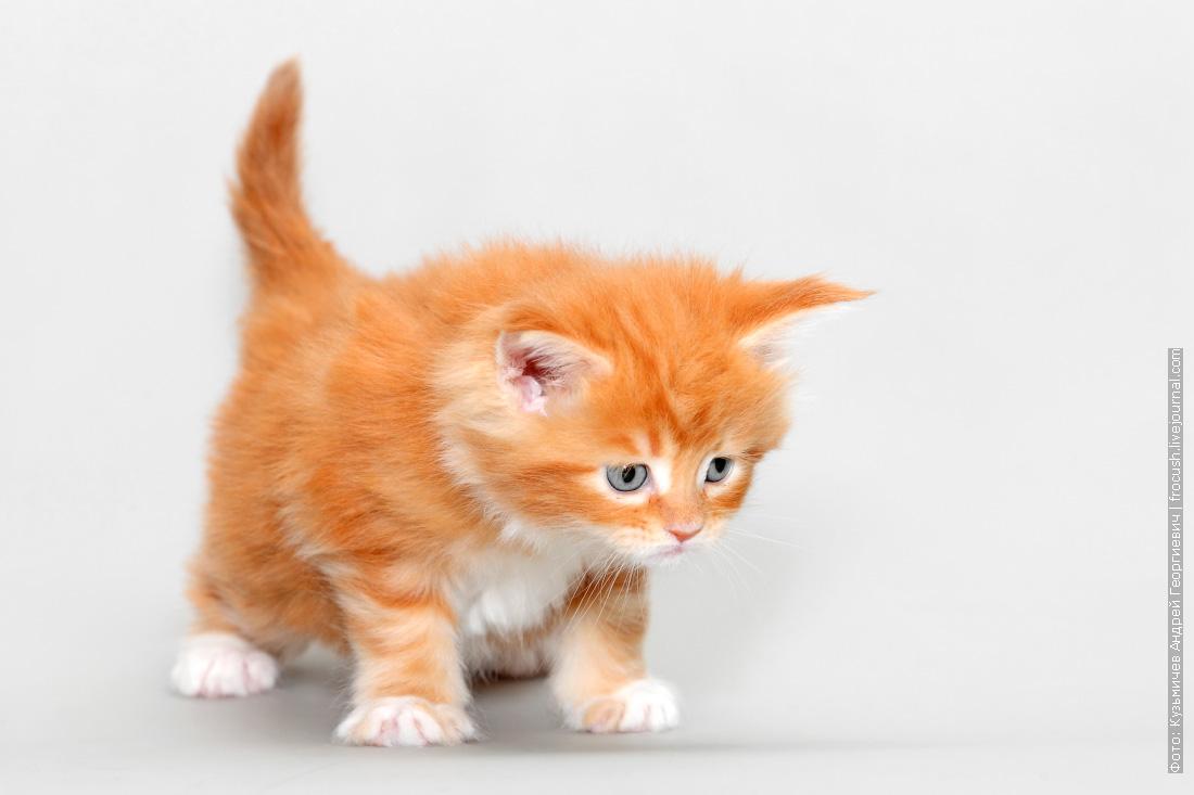 красный котенок мейн кун фотография