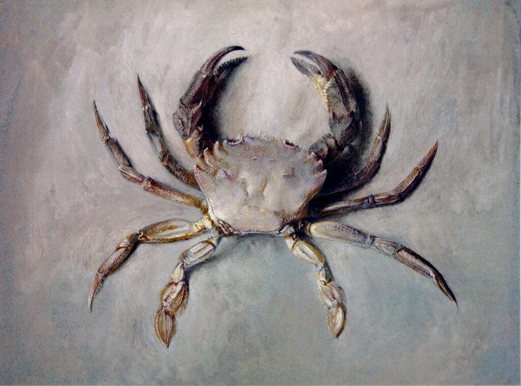 Velvet_Crab_Ruskin187071.jpg