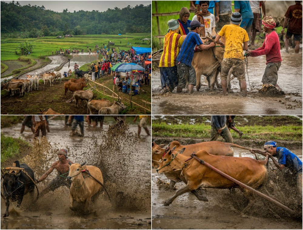 Traditional Bull Racing in Indonesia