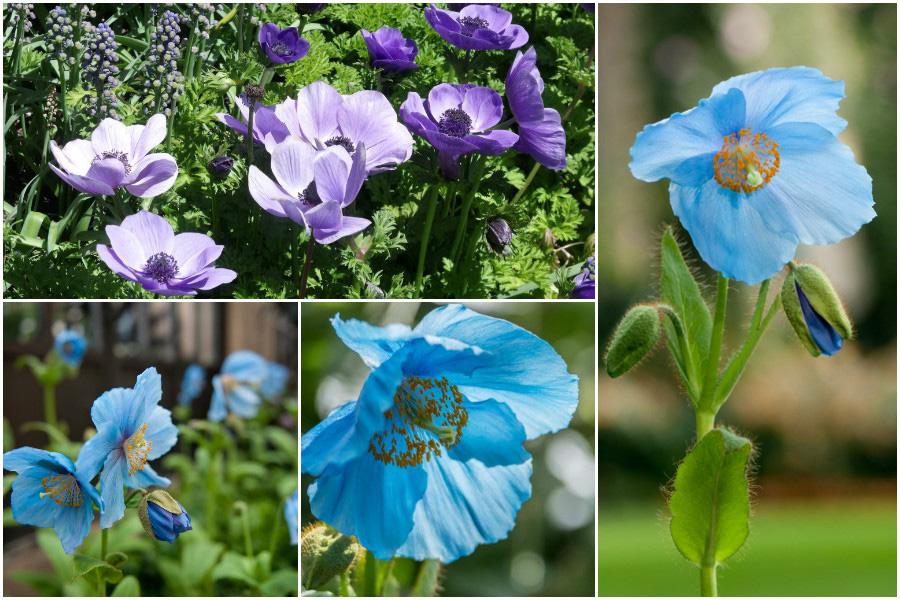 Сады Дюпона, сады Лонгвуд (Longwood Gardens)-синие маки