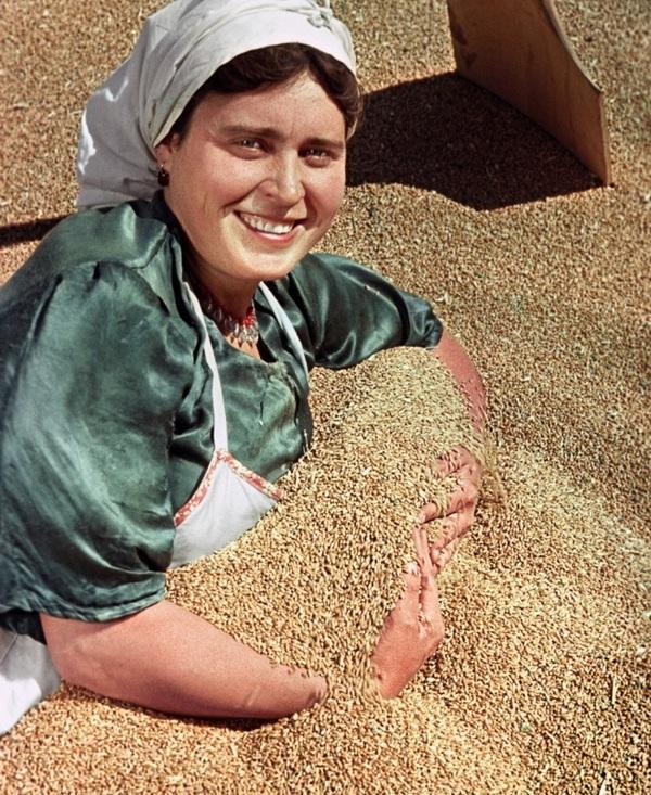 Богатый урожай пшеницы собран в этом году в колхозе имени Сталина Новоалександровского района Ставро