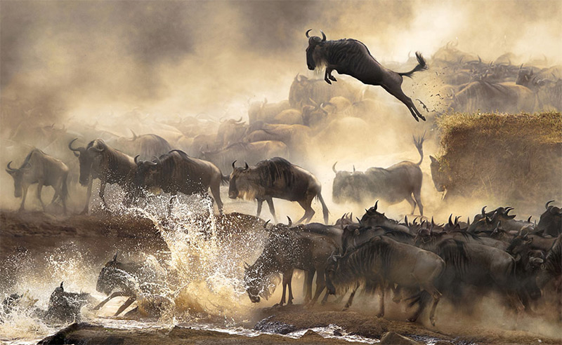 In July each year, this heart-pounding scene of wildebeests migration repeats itself in Kenya. &copy