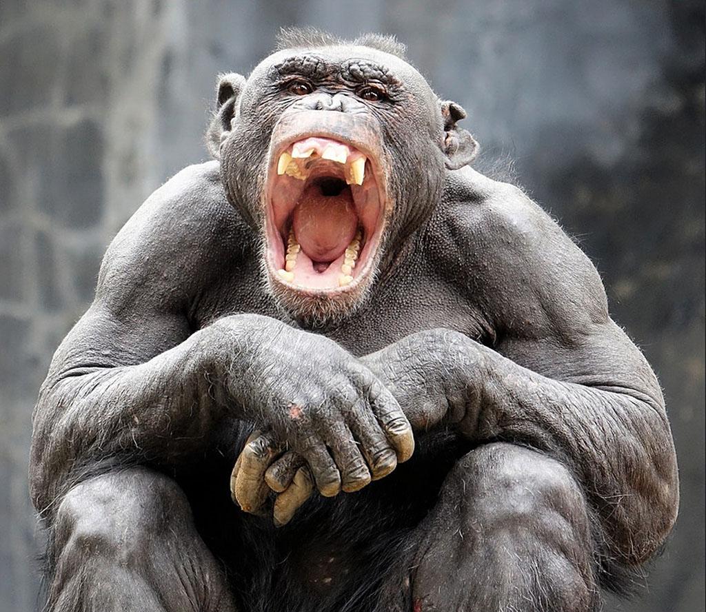 Жерар шимпанзе из зоопарка в Лос Анжелесе